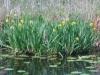 4 Yellow iris planted by French explorers
